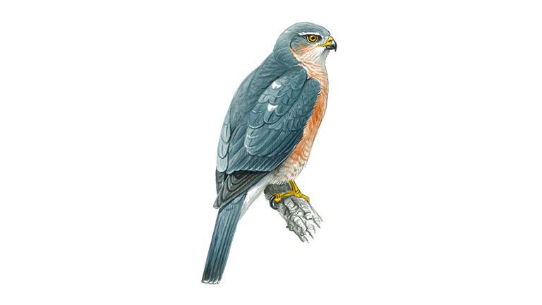 Orange Breasted Sparrow Sparrowhawk Bird Facts...