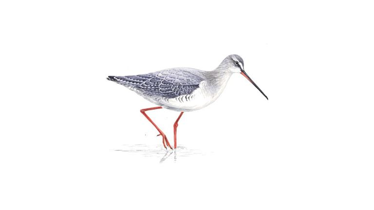Spotted redshank (winter plumage)