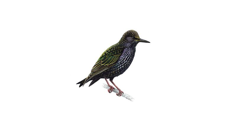 Starling (adult)