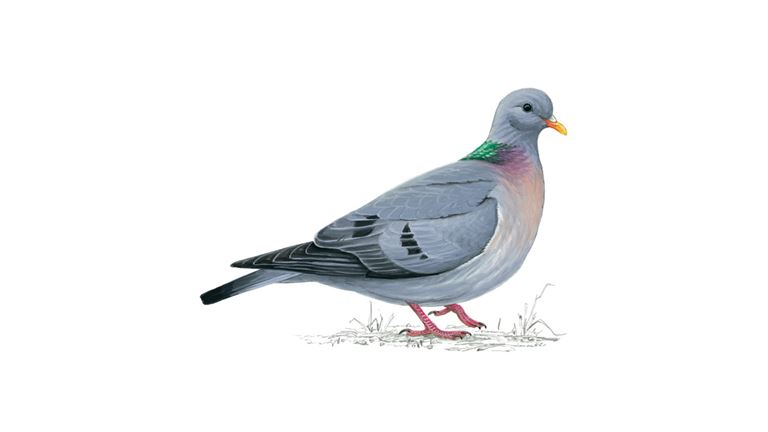 stock dove bird facts columba oenas the rspb