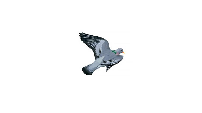 Stock dove (in flight)