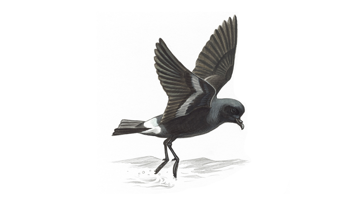 storm petrel bird facts