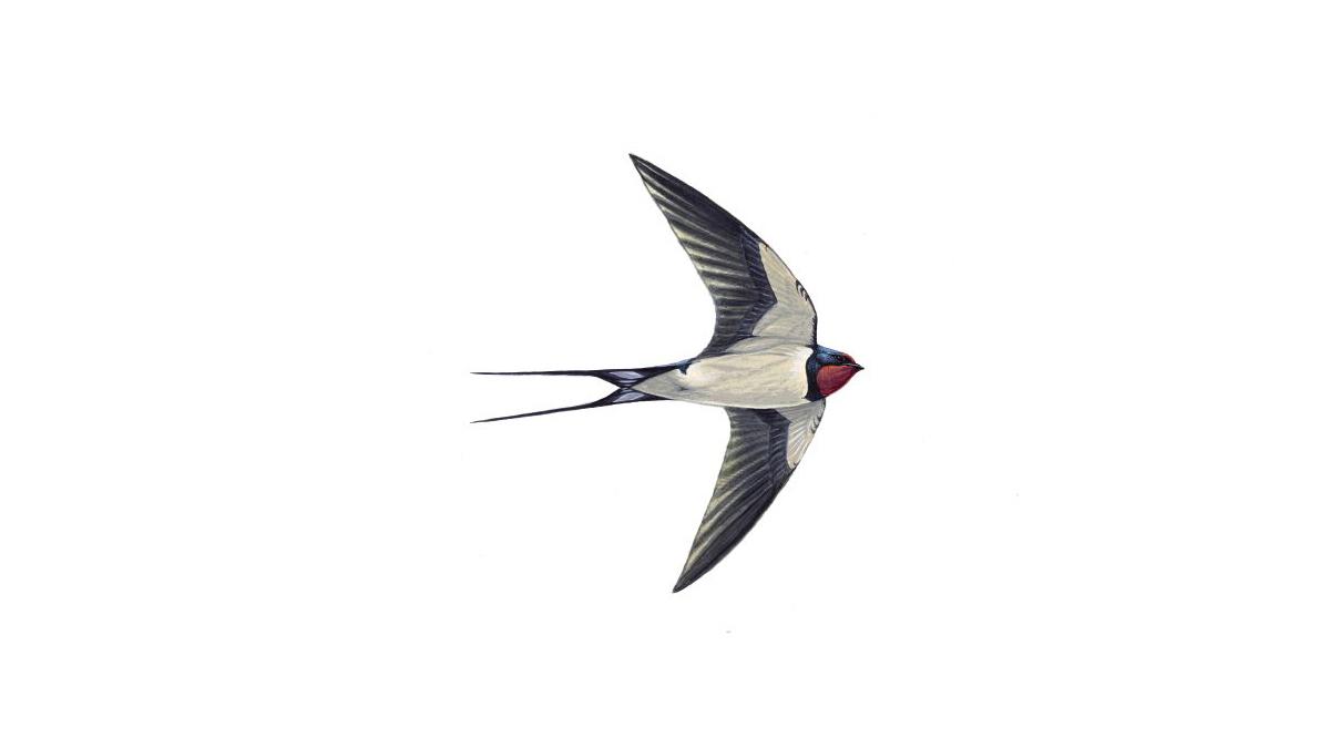 Swallow Bird Facts | Hirundo rustica - The RSPB