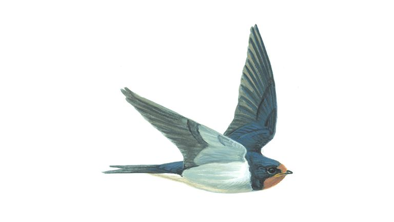 Swallow (juvenile)