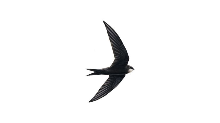 Swift Bird Facts | Apus Apus - The RSPB