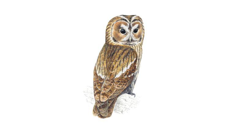 Tawny Owl Facts| Strix Aluco - The RSPB