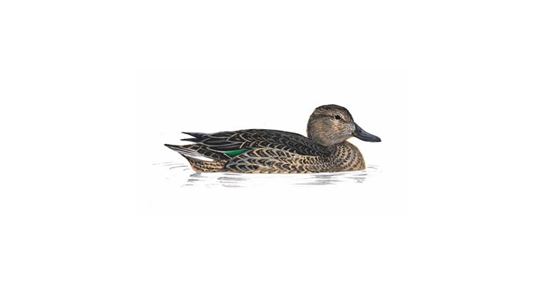 how to call teal ducks