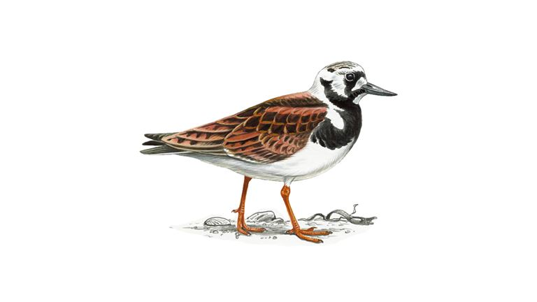 Turnstone (summer plumage)