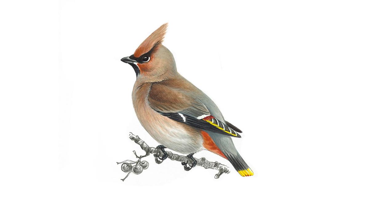 Картинка зимующие птицы для детей на прозрачном фоне, неделю