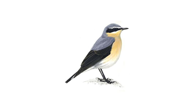 wheatear bird facts oenanthe oenanthe the rspb