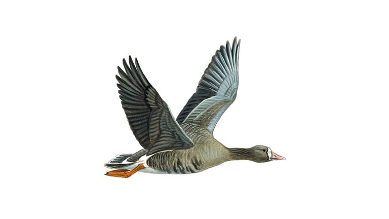 White-fronted goose (albifron race)