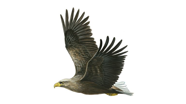 White-tailed eagle in flight (adult)