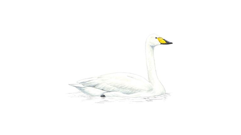 Swans Have Come Back >> Whooper Swan Facts Cygnus Cygnus The Rspb