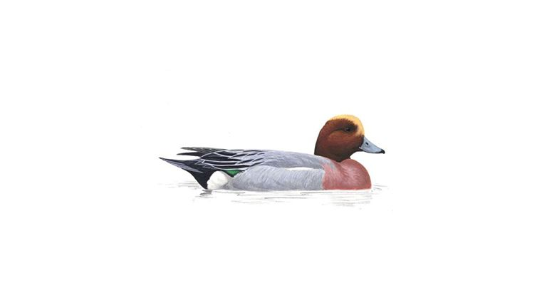 Wigeon (male)