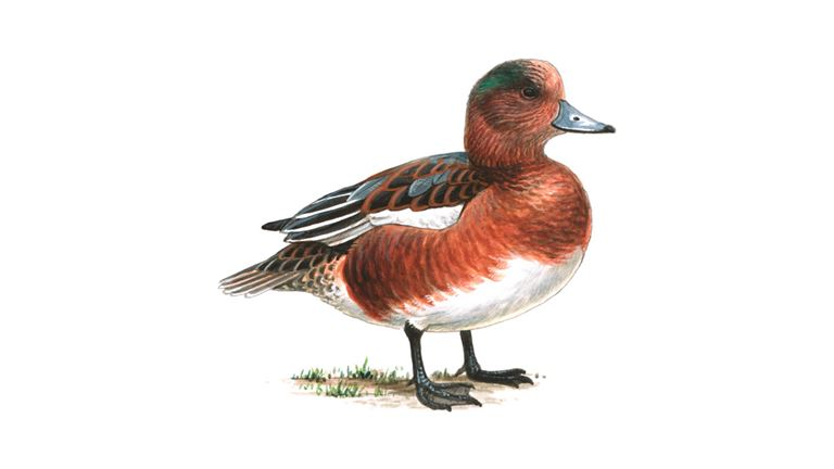 Wigeon (male / eclipse plumage)