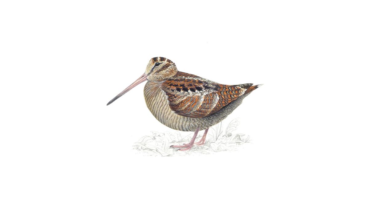 Woodcock Bird Facts Scolopax Rusticola The Rspb