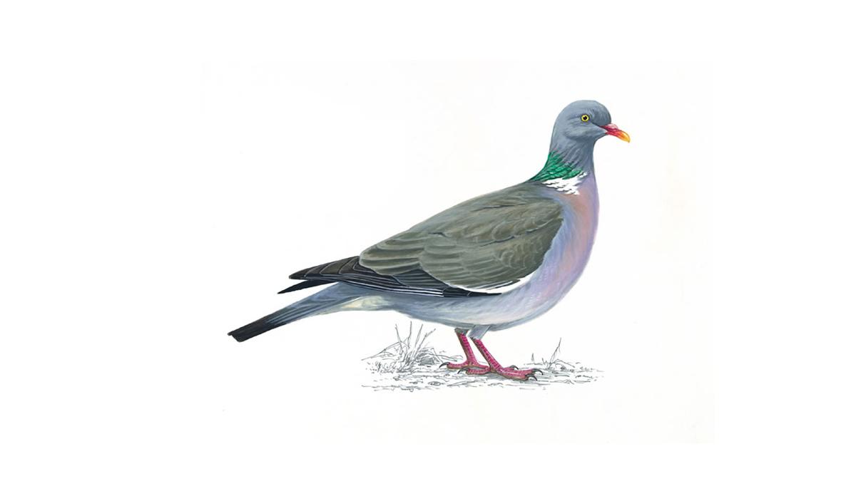 картинки перелетных голубей