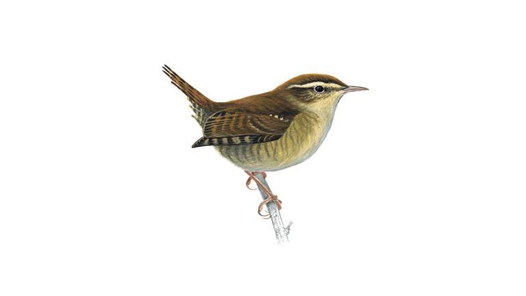 Wren Bird Facts | Troglodytes Troglodytes - The RSPB
