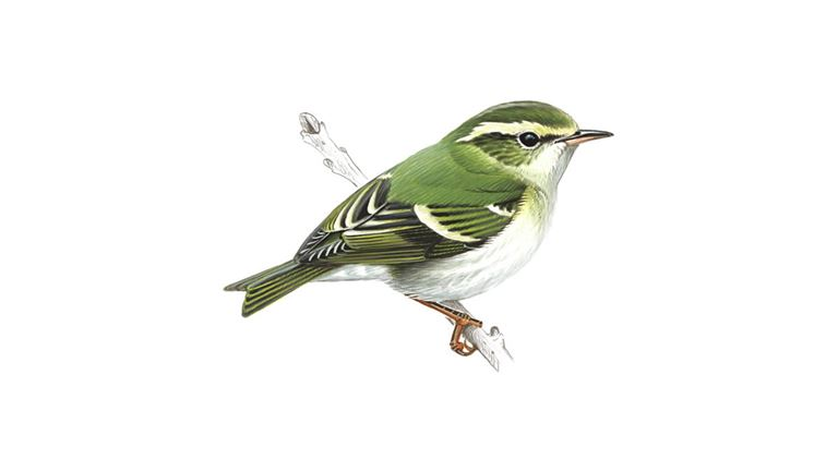 yellow browed warbler bird facts phylloscopus inornatus. Black Bedroom Furniture Sets. Home Design Ideas