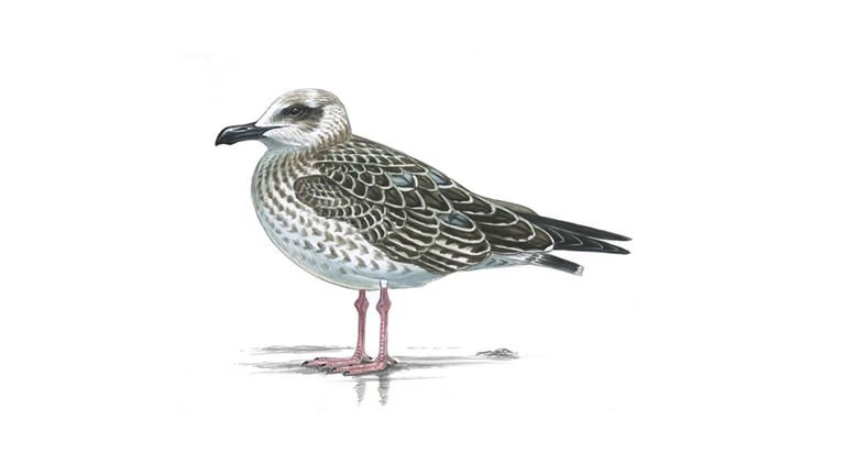yellow legged gull facts larus michahellis the rspb. Black Bedroom Furniture Sets. Home Design Ideas