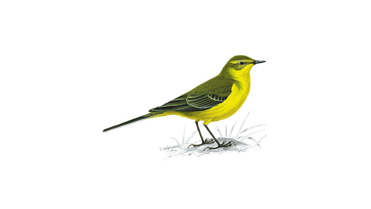 yellow wagtail bird facts motacilla flava the rspb. Black Bedroom Furniture Sets. Home Design Ideas