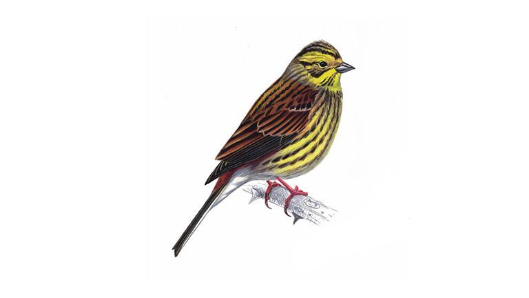 yellowhammer bird facts emberiza citrinella the rspb
