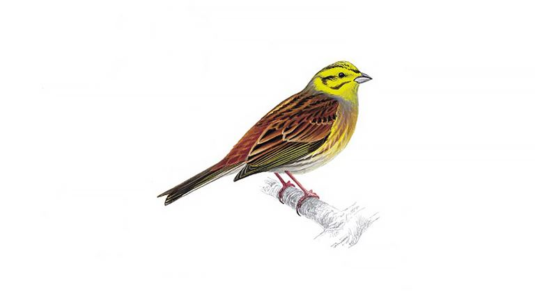 yellowhammer bird facts emberiza citrinella the rspb. Black Bedroom Furniture Sets. Home Design Ideas