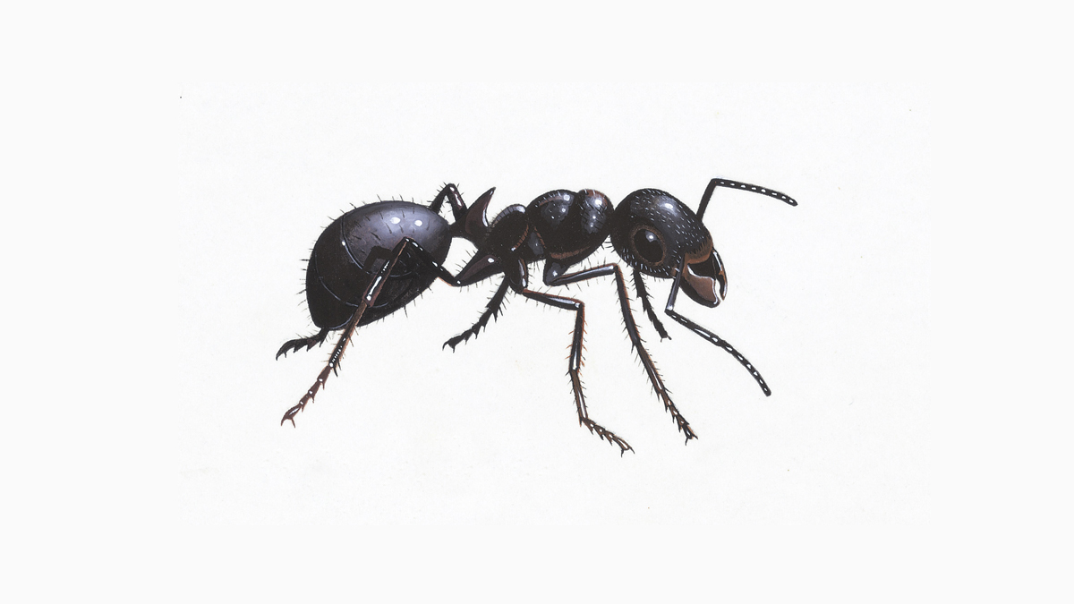 Wonderful Black Garden Ant