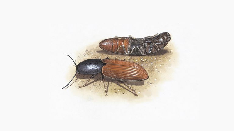 Click beetles