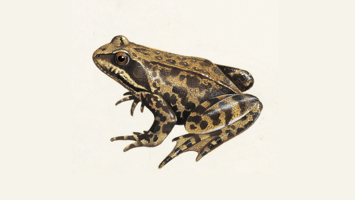 Common Frog What Do Frogs Eat Other