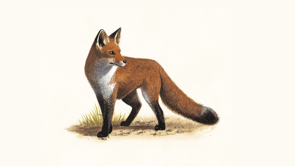 Foxes Where Do Foxes Live Other Fox Facts The Rspb