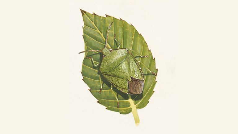 Green Shield Bug | Also Known As Green Stink Bug - The RSPB