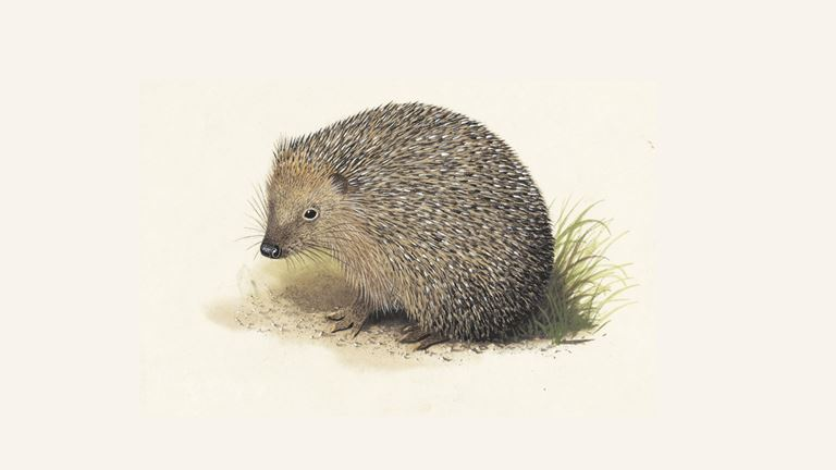 Hedgehog What Hedgehogs Eat Other Hedgehog Facts The