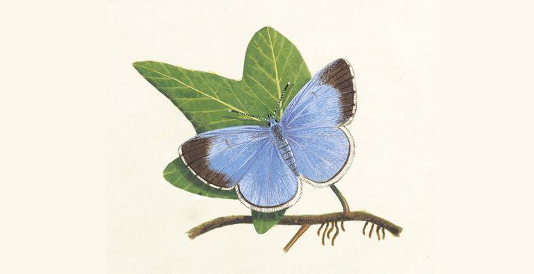 Mariposa azul acebo