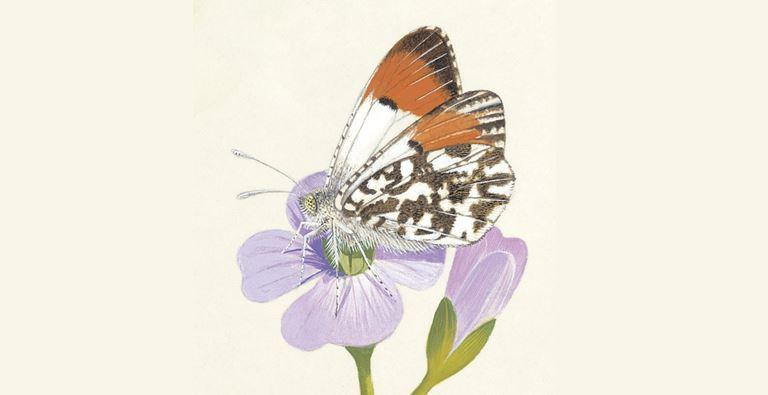 Mariposa punta naranja