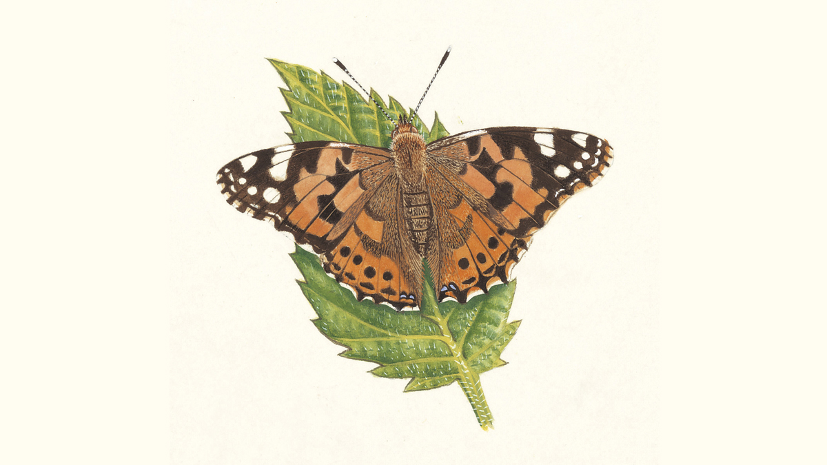 Painted Lady Butterfly Facts   Vanessa cardui - The RSPB