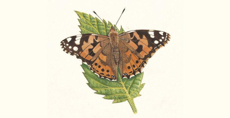 Mariposa dama pintada