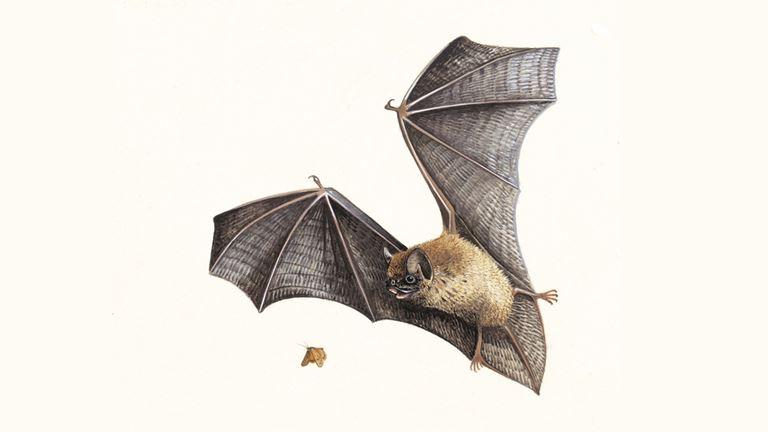 pipistrelle bat pipistrellus pipistrellus the rspb