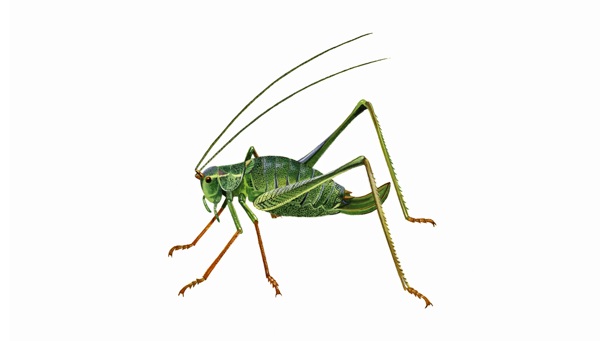 Speckled Bush Cricket Facts About Crickets The Rspb