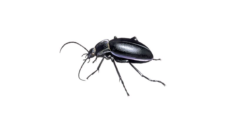 Violet Ground Beetle | Carabus Violaceus - The RSPB