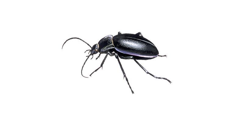 Escarabajo de tierra violeta