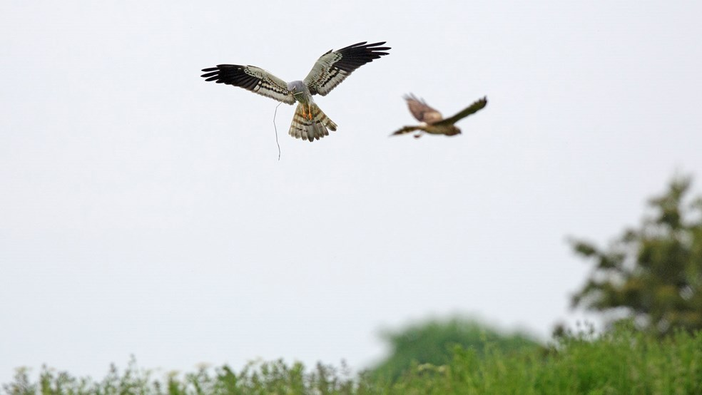 Pair of Montagu's harriers