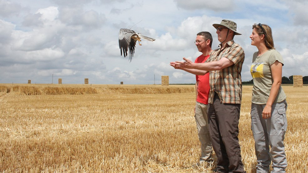 Releasing Mark, the montagu's harrier