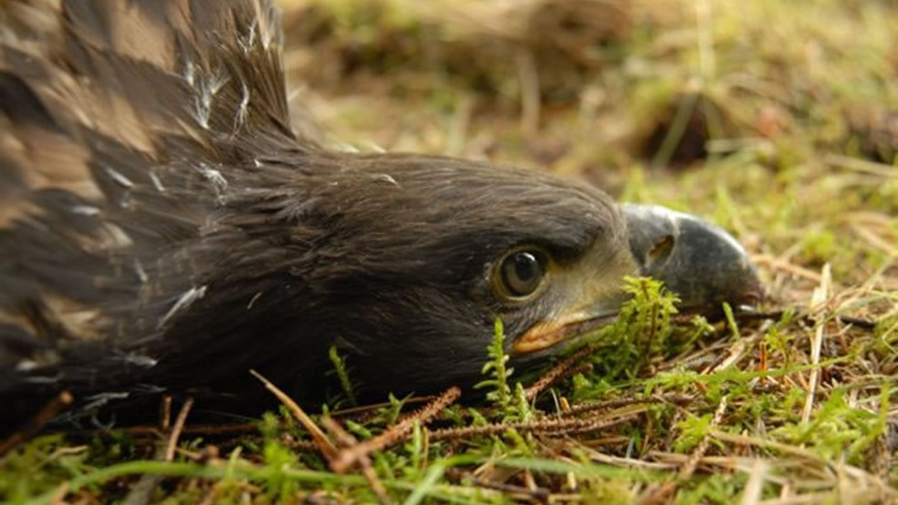 The eagle chicks lie quietly on the ground