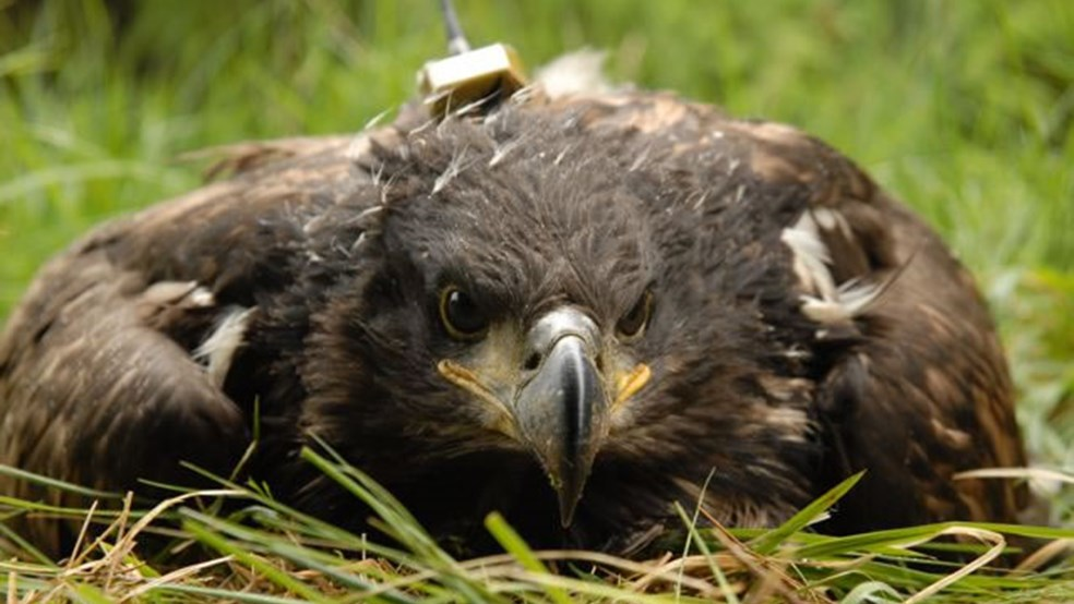 With its satellite tag fitted, the eagle chick is ready to be taken back to the nest