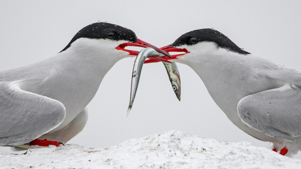 Two terns court over a sand eel
