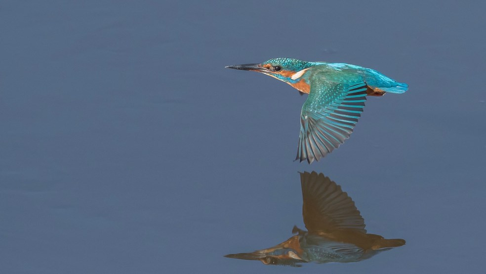 A kingfisher suspended in flight above the water