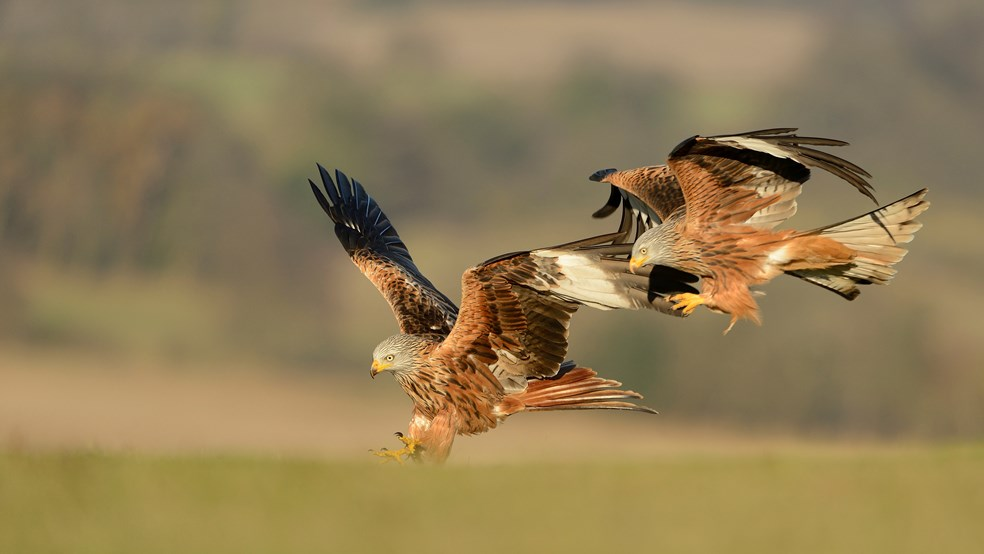 Red kite Milvus milvus, swooping in to feed on ground, Oxfordshire
