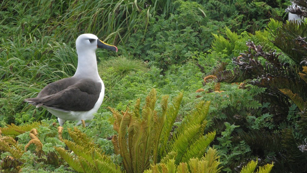 The UK is responsible for over a third of the world's breeding albatross