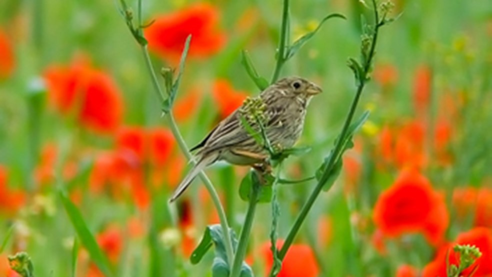 Corn bunting singing from a mixed cereal crop designed by the FBI to offer safe nesting habitat.